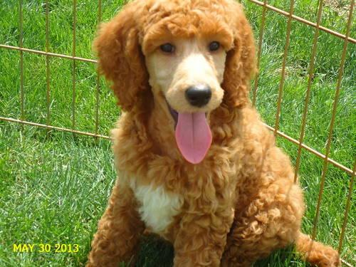 AKC Standard Poodle Puppies in Michigan-24 Month Health