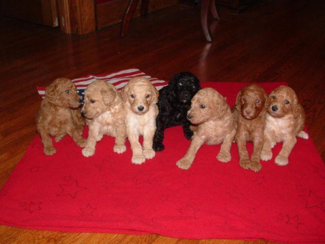 AKC Standard Poodle Puppies-Red, Apricot,Cream & Black Taking Deposits