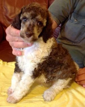 Akc Standard Poodle Tricolor Parti Male 6 Weeks For Sale In