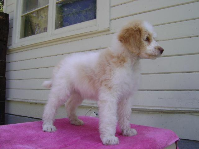 Akc Standard Poodles Parti Colors Ready To Go For Sale