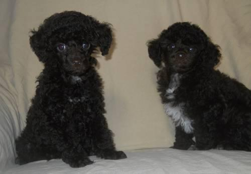 Poodles For Sale In Tennessee Classifieds Buy And Sell In