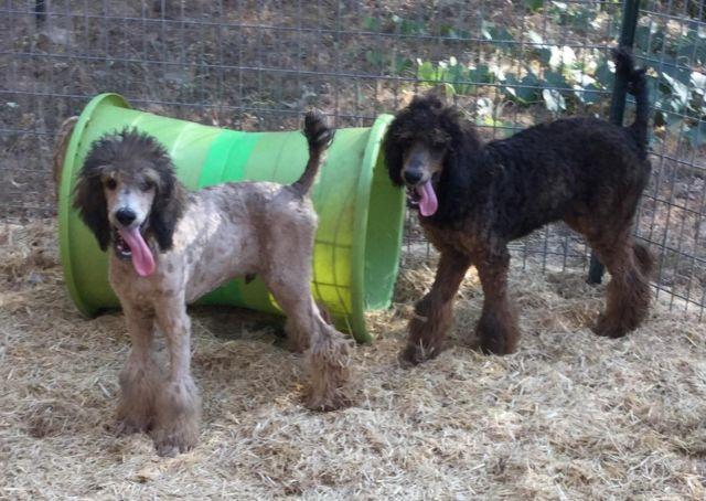 Akc Standard Poodles Sable And Phantom Boys 16 Weeks Old