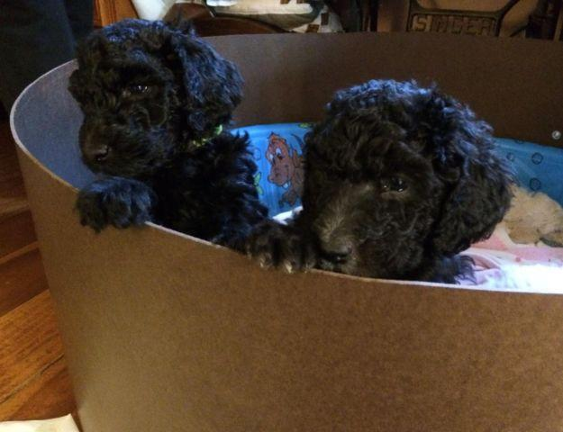 AKC Std Poodles Ready March 27