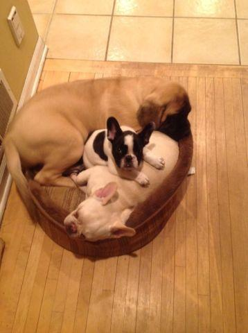 AKC Sweet Pie Bald French Bulldog Puppy like Modern Family for Sale ...