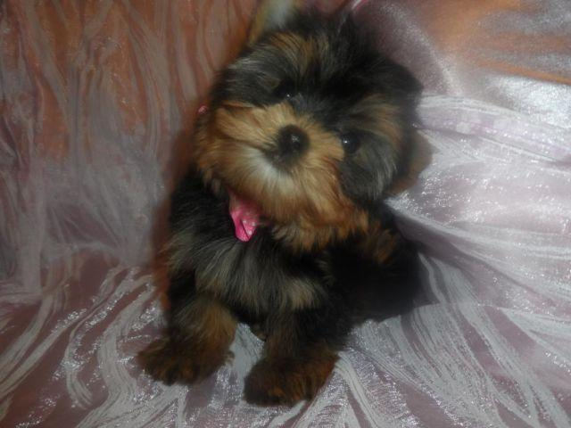 AKC T Cup BabyDoll Face Tiny Girl! (Not for breeding)
