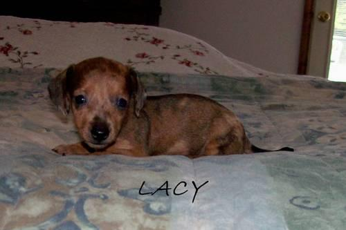 Akc Teacup Mini Dachshund Female Lacy For Sale In Bond