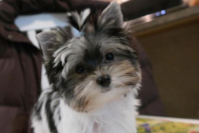 Akc Teacup Parti Yorkie Male 13 Weeks Old For Sale In Gambier Ohio