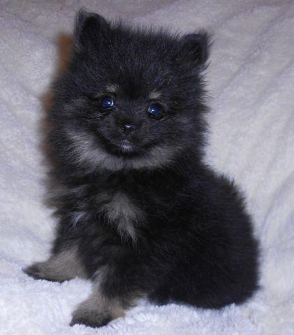 pomeranian oklahoma akc teacup pomeranian 9 weeks for sale in kellyville 6423