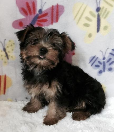 Akc Teacup Toy Yorkie Puppies For Sale In Peru Illinois Classified