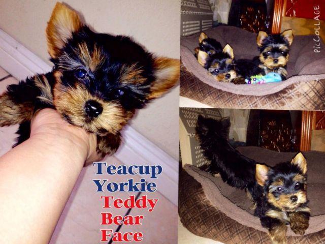 Akc Teacup Yorkie 10 Weeks Old For Sale In Los Angeles California