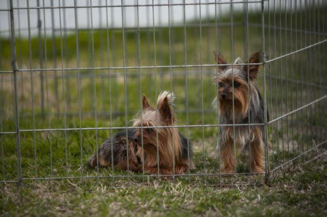 Akc Teacup Yorkie For Sale In Los Angeles California Classified