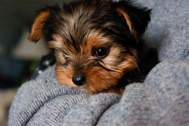 yorkie breeders in tn akc teacup yorkie for sale in nashville tennessee 1268