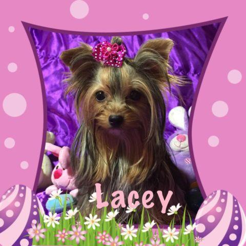 Akc Teacup Yorkie Female 8 Months Old For Sale In Decatur Texas