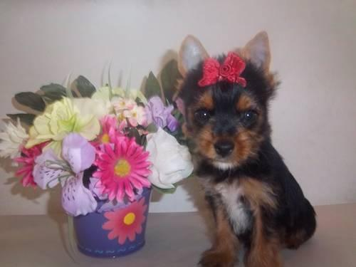 AKC Teacup Yorkie Male Puppies