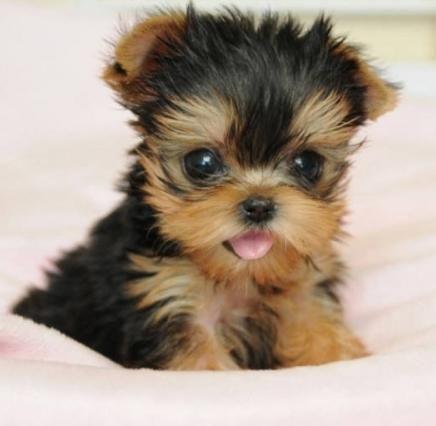 adult cheap free ohio puppy yorkies