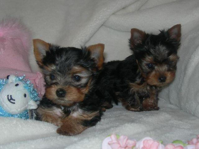 yorkie puppies for sale sacramento ca akc teacup yorkie puppy 8 weeks old for sale in 1348