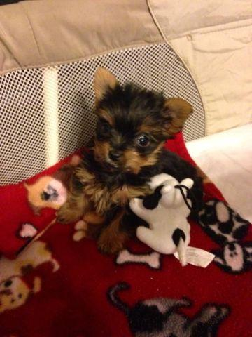 Akc Teacup Yorkie Puppy For Sale In Fieldale Virginia Classified