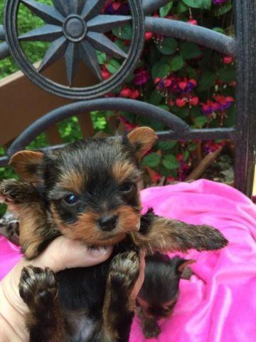 Akc Teacup Yorkies Baby Doll Faces Championship