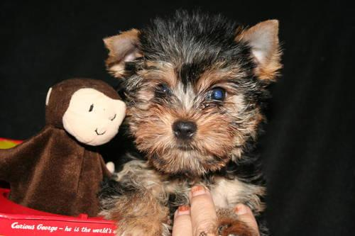 Akc Teacup Yorkshire Terrier Male For Sale In Wonder Lake Illinois