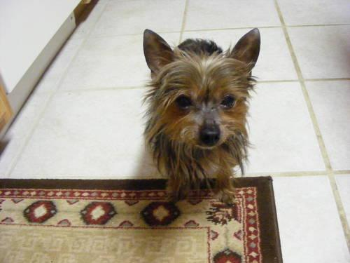 AKC TEACUP YORKSHIRE TERRIER STUD OR SALE