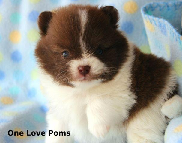 Teddy Bear Puppies Shi Chon Pets And Animals For Sale In The Usa