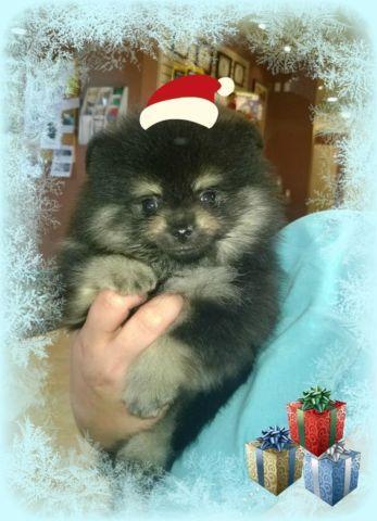 black teddy bear pomeranian - photo #34