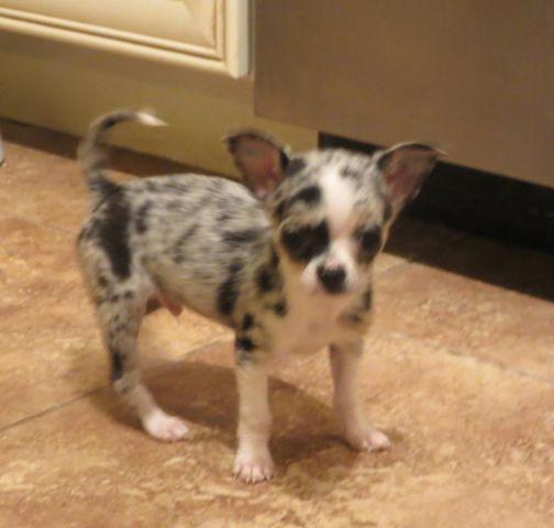 blue merle chihuahua for sale akc tiny blue merle chihuahua for sale in tucson arizona 2587