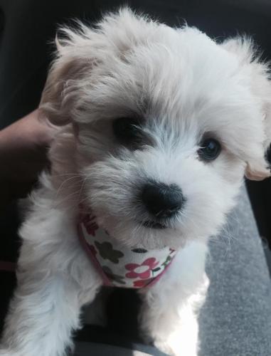 Akc Tiny Maltese Puppies