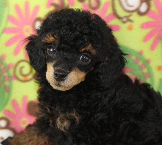 Akc Tinysmall Toy Blackapricot Phantom Poodle Male For