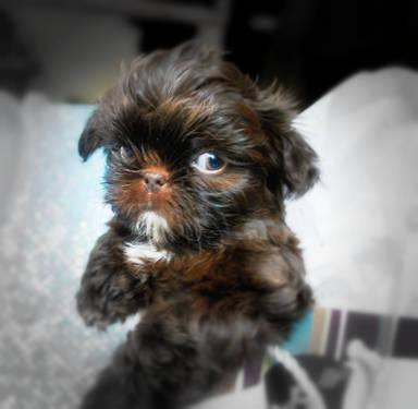 Akc Tiny Teacup Shih Tzu Chocolate Dove Sale For Sale In Benton City