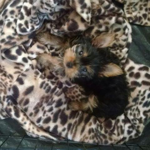 AKC Tiny Teacup Yorkie Yorkshire Terrier Puppy