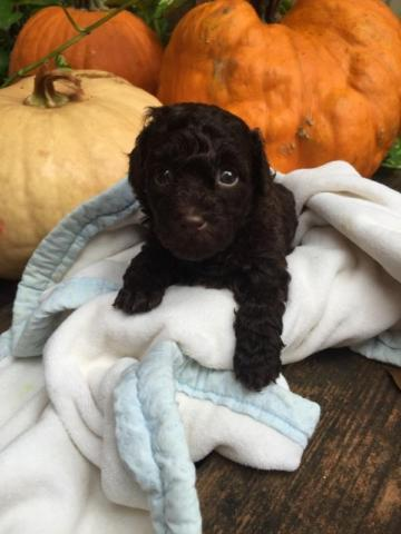 AKC tiny toy poodles
