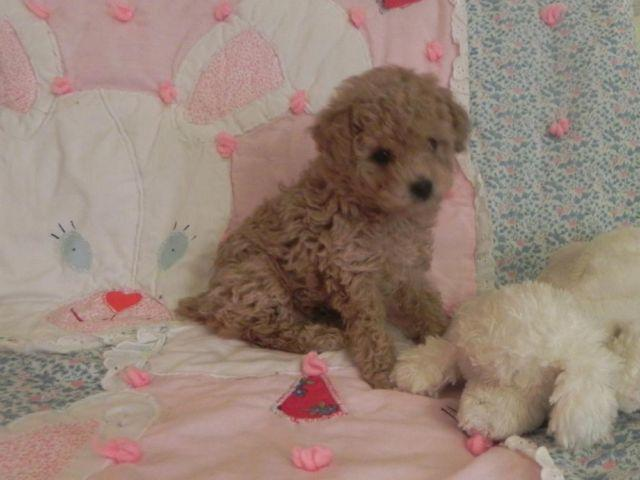 Akc Tiny Toy Poodles Apricot Female Puppy And 3 Black