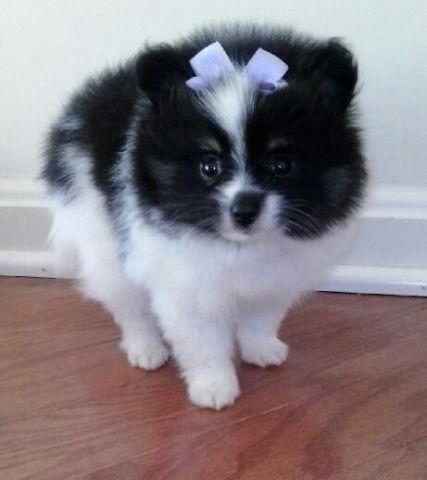 Akc Tiny Tri Color Pomeranian Puppy For Sale In Bristow Virginia