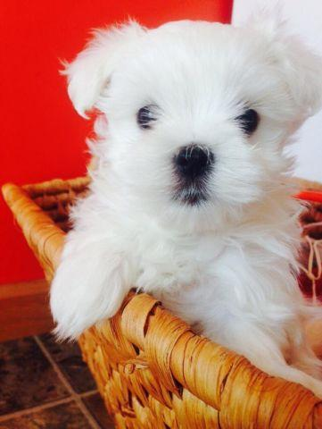 maltese breeders indiana akc top quality maltese puppies for sale in carmel 6497