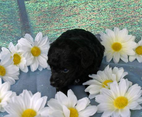 AKC Toy and Teacup Poodles
