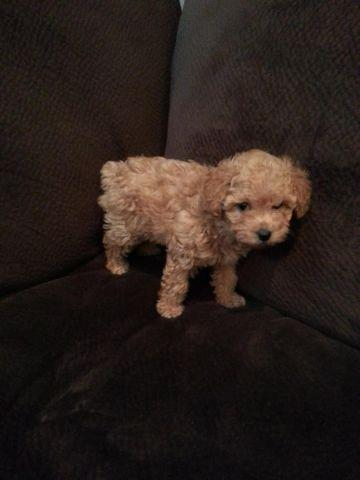 Toy Poodle Female Pets And Animals For Sale In Spokane