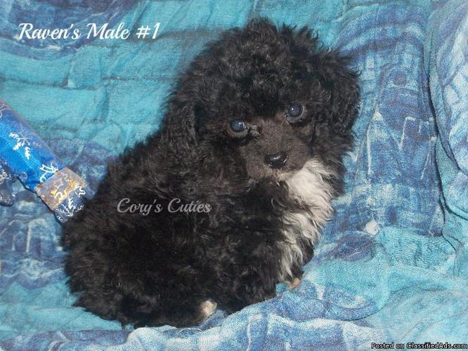 Puppies all have great champion bloodlines, two are Poodles for Sale ...
