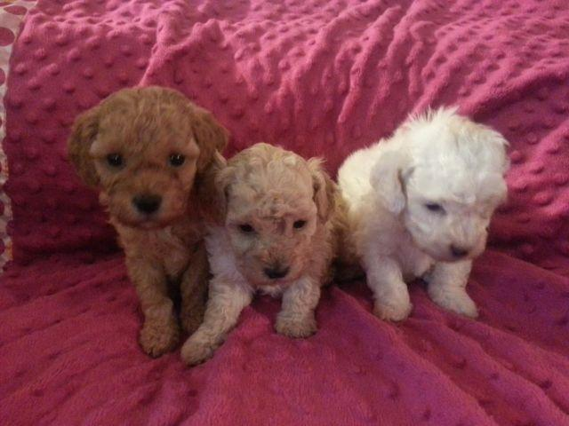 akc toy poodles for sale in deer park  washington