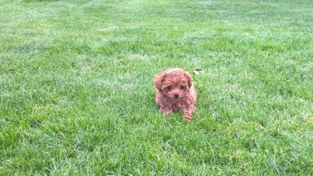 Akc Toy Poodles For Sale In Medford Oregon Classified