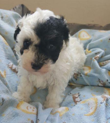 Akc Toy Poodles For Sale In Knoxville Tennessee Classified