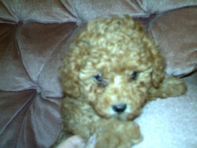 Akc Toy Poodles Apricot Festus Mo For Sale In Festus