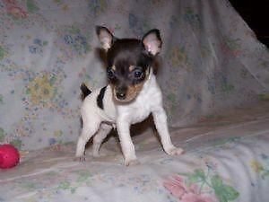 Akc Toy Rat Terrier Puppies For Sale In Katy Texas Classified