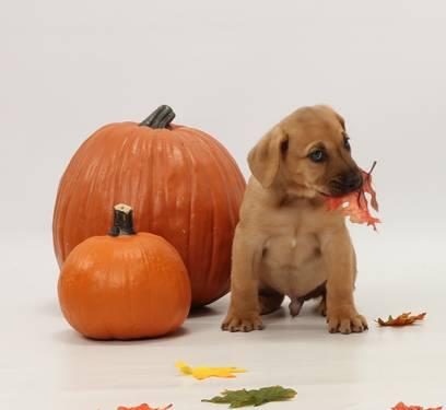 AKC Toy/Small Miniature Red Poodle Males