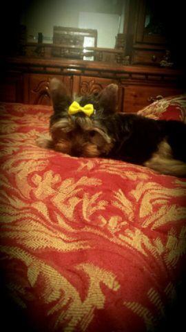 AKC TRADITIONAL FEMALE YORKIE PUPPY