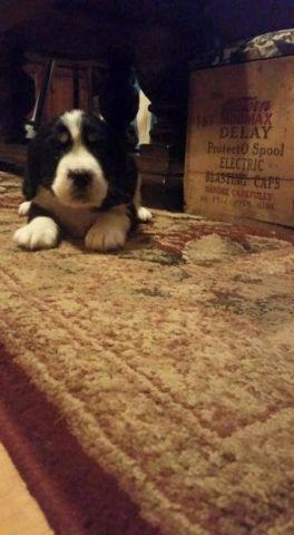 AKC Tri Coloe English Springer Spaniel Puppy