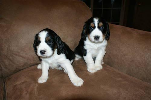 AKC Tri Color English Springer Spaniel puppies