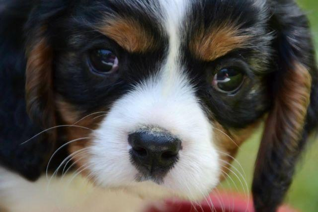 Akc Tri Colored King Charles Cavalier Puppies Born 1 14