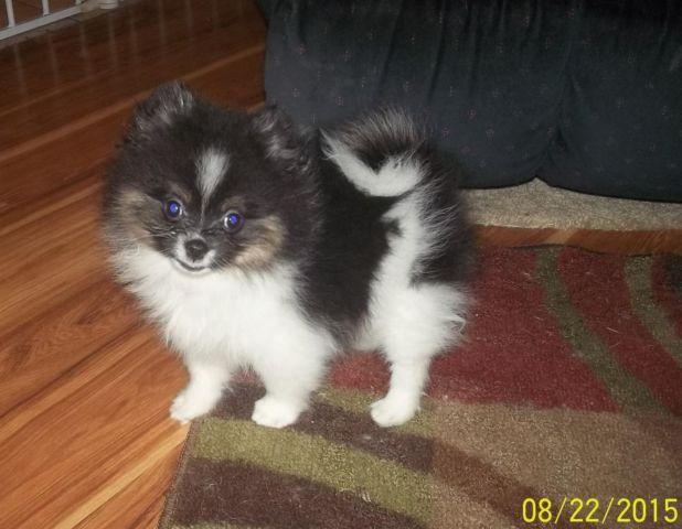 party pomeranian puppies for sale akc tri parti pomeranian puppy for sale in brunswick 3829