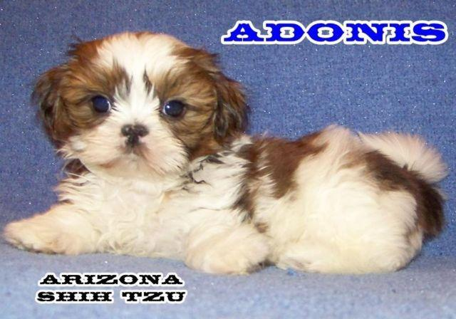 Pets And Animals For Sale In Sun City Arizona Puppy And Kitten
